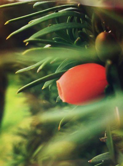 Yew Tree Berry Canvas Print